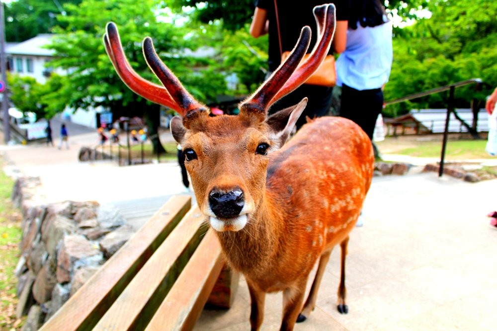 A cute Nara Deer with antlers gazes into the camera before bowing for crackers at Nara Park