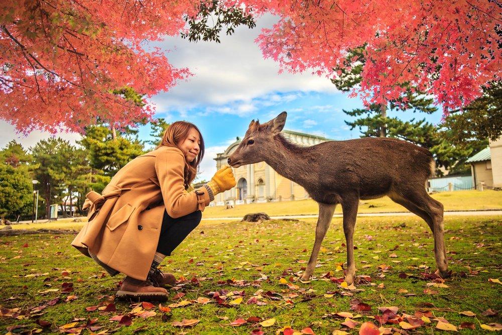 Nara deer roam free in Nara Park