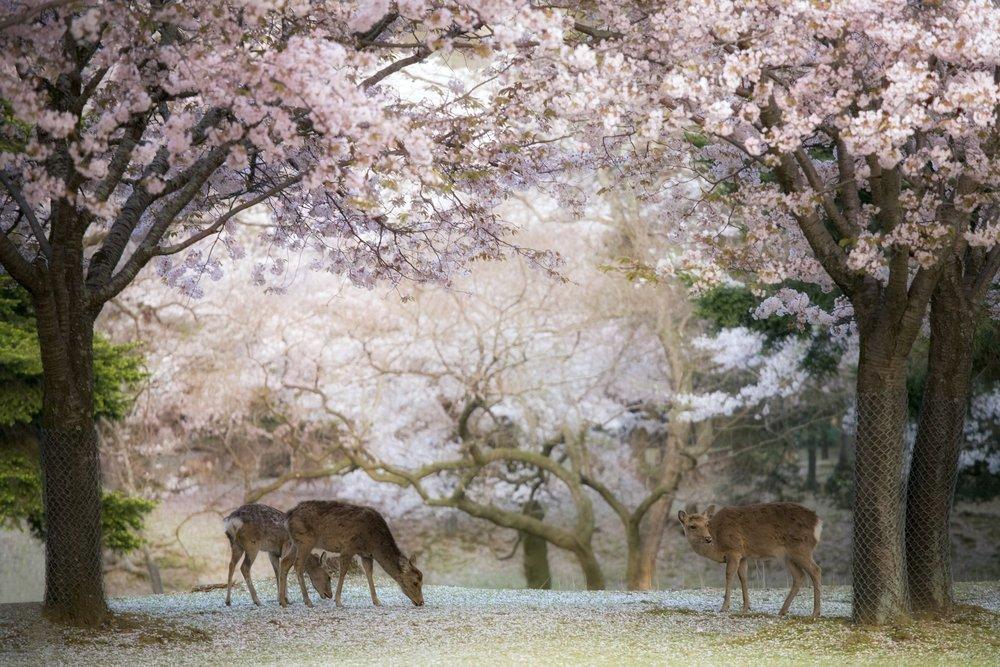 Deer - Cherry Blossom NARA
