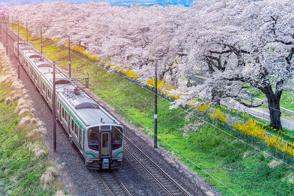 Train on the railroad track with a row of cherry trees, This area is popular sakura spot at funaoaka Sendai