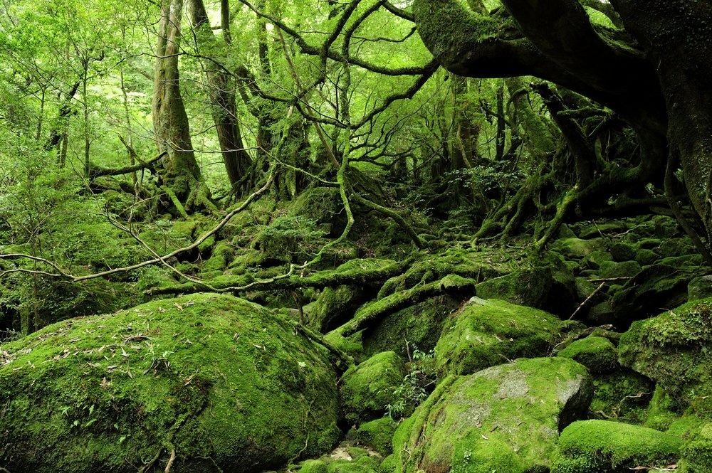 Yakushima forest